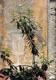 Villa Poppaea, piante ed affresco, Oplontis Fotografia Stock
