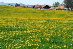 Village In The Alps. The Meadows Full Of Dandelions With Samll Village In The Background.Germany Alps Royalty Free Stock Image