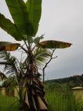 Some banana plants around Malaysia. Village bananas tree Stock Photography