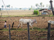 A Village boy and an Ox - Cambodia Royalty Free Stock Photography