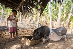 Village boy eating with his domestic pet pig under basic shelter= stock image