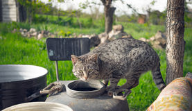 Village cat. Attention and alertness Royalty Free Stock Photography