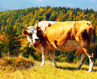 Village cow Royalty Free Stock Photography