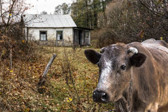 Village cow. Brown cow  in front of the destroyed house Royalty Free Stock Image