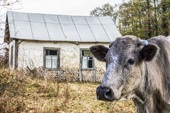 Village cow. Brown cow  in front of the destroyed old house Stock Photo