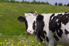 Village cow grazing in a meadow, looking at the camera stock photos
