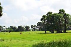 Village cultivant le paddy classé avec des vaches images stock