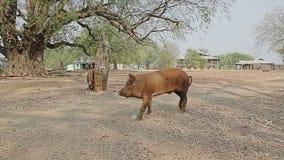 Village de marche de cuvette de porc banque de vidéos