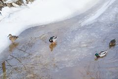 Village ducks in the river in winter snow. View Stock Images