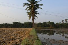 Village farmer land with sugarcane and coconut tree royalty free stock photos