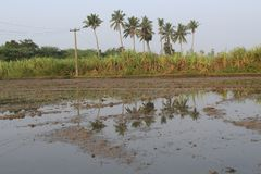 Village farmer land with sugarcane and coconut tree stock images