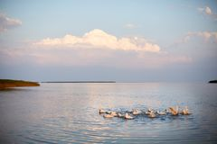 Village geese flock bathing in the calm water in lake, creek or pond. Peacefull landscape with clouds reflected on royalty free stock images