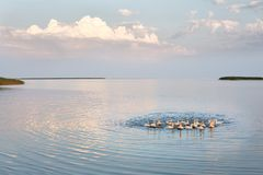 Village geese flock bathing in the calm water in lake, creek or pond. Peacefull landscape with clouds reflected on. Smooth water surface. Goose floating in the Royalty Free Stock Photo