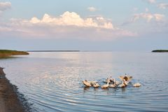Village geese flock bathing in the calm water in lake, creek or pond. Peacefull landscape with clouds reflected on stock photography