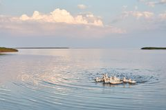 Village geese flock bathing in the calm water in lake, creek or pond. Peacefull landscape with clouds reflected on. Smooth water surface. Goose floating in the Royalty Free Stock Image