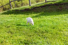 Village goat grazing in a meadow in the pen royalty free stock photo