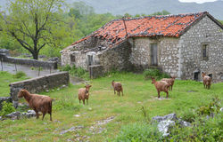 Village goats. The red goats grazing near the village house in the rain at Montenegro Royalty Free Stock Photography