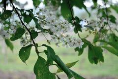 Bird cherry blossom spring, village Goryachegorsk, Sharypovo district, Krsnoyarsk region, Russia stock images