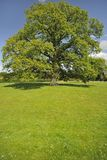 Village green, Oak tree seat, Hanley Swan Stock Image