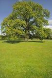 Village green, Oak tree seat, Hanley Swan Stock Image