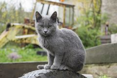 The village grey cat is waiting for the owners Royalty Free Stock Image