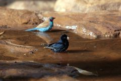 Village indigobird and red-cheeked cordonbleu. A village indigobird and red-cheeked cordonbleu on a waterhole in the Ethiopian Mountains royalty free stock photography