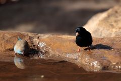 Village indigobird and red-cheeked cordonbleu. A village indigobird and red-cheeked cordonbleu on a waterhole in the Ethiopian Mountains royalty free stock image
