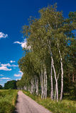 Village landscape with a country road and white birches Royalty Free Stock Image