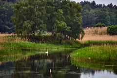 Village landscape with a swan. Floating on the pond in Poland Stock Images