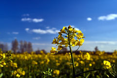 Village landscape with a yellow flower in the spring oilseed rape. In Poland Stock Photography