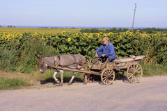 Village life in Romania. Romania, 3 July 2014. A farmer on a carriage with a donkey and sunflowers in the background royalty free stock photography