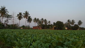Village life in tobacco field Stock Photography