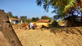 Village life. A view of village life-huts,cows,husk and cut straw royalty free stock images