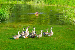 Village life. A young man swims to shore with a flock of geese Stock Photography