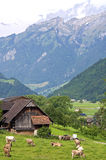 Village LifeSwiss mountain village with cows and Alps Royalty Free Stock Image