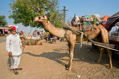 Village man stands with big camel in rural landscape Stock Photography