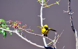 Village masculin Weaver Bird - le Cap-Oriental, Afrique du Sud Photographie stock