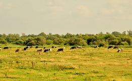 Village nature cattle royalty free stock photos