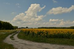 Village path and fields of sunflowers Stock Image