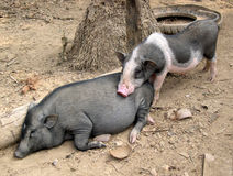 Village Pigs, Laos Stock Images