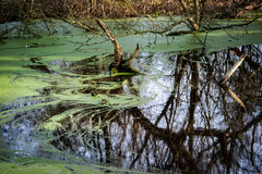 Village pond with duckweed Stock Images