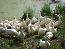 Village pond in the Moscow region where the floating white domestic ducks Royalty Free Stock Photography