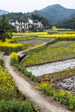 Village of rape flower Stock Image