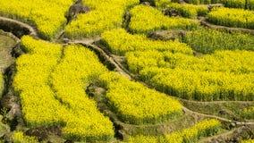Village of rape flower Stock Photography
