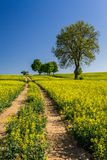 Village Road between the field of oilseed rape Stock Photography