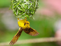 Village (Spotted-backed) Weaver Stock Photography