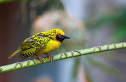 Village (Spotted-backed) Weaver Royalty Free Stock Image