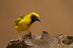 Village (Spottedbacked) Weaver perched on log Royalty Free Stock Image