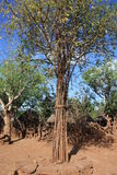 Village tree ethiopia. With each generation the tree get one more sick. so you can see the age of a village. ethiopia Stock Image