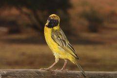 Village weaver Stock Images